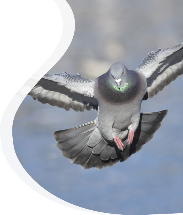 Flying Pigeon - Pied Piper Pest