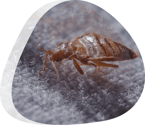 Bed bug control - The Pied Piper Pest - Pest control