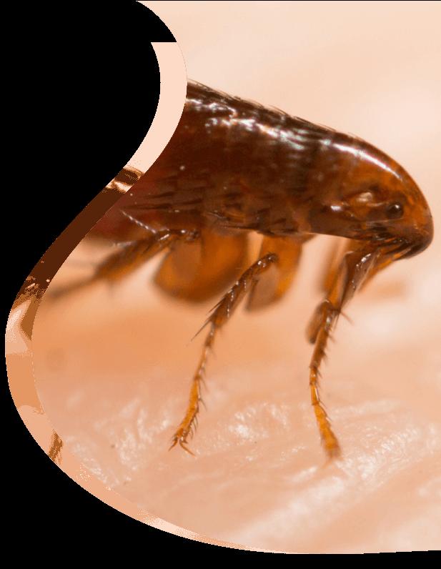 Fleas treatment - The Pied Piper Pest - Pest control
