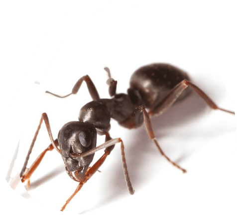 Garden ants control for Business - The Pied Piper Pest - Pest control