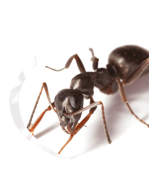 Garden ants for Business - The Pied Piper Pest - Pest control