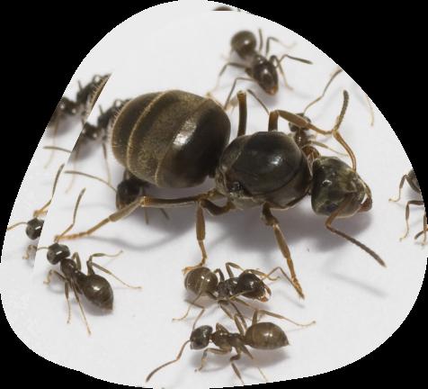 Garden Ants - Pied Piper Pest