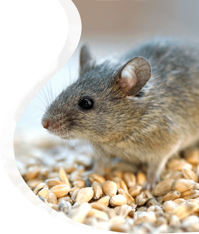 Mouse control - The Pied Piper Pest - Pest control