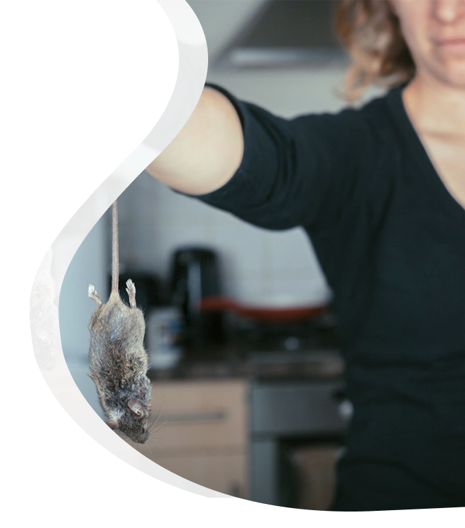 Mouse control for home - The Pied Piper Pest - Pest control