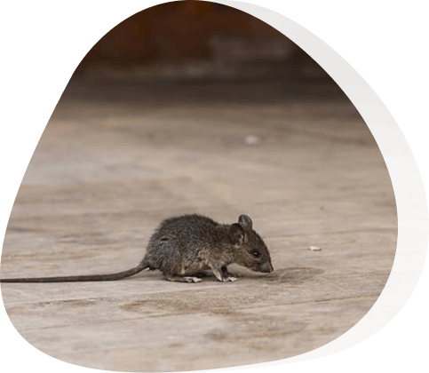 mouse treatment - The Pied Piper, London's Leading Pest Control Company