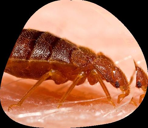Bed Bug Cimex Lectularius - Pied Piper Pest