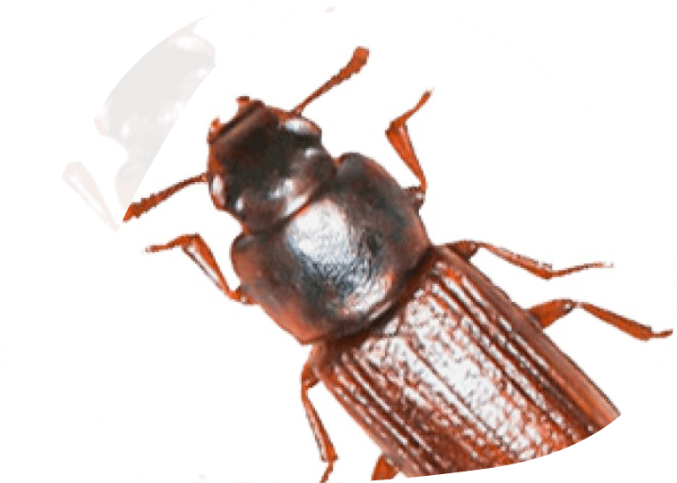 Flour Beetle - The Pied Piper Pest