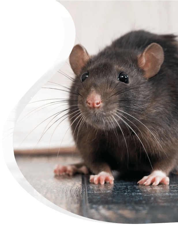 Rats treatment fro business - The Pied Piper Pest - Pest control
