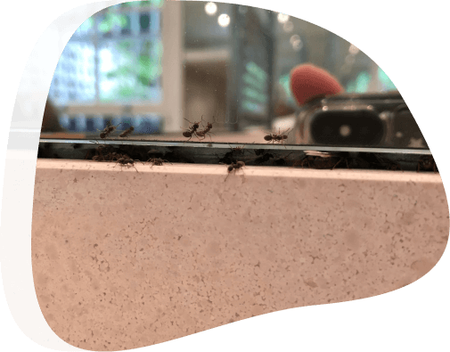Ants removal - The Pied Piper, London's Leading Pest Control Company