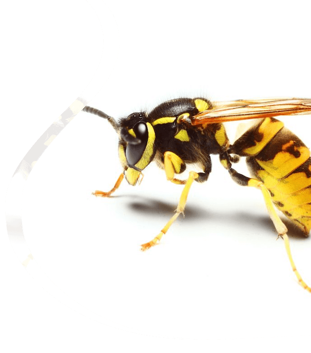 Wasp removal - The Pied Piper, London's Leading Pest Control Company