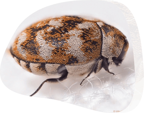 Carpet beetle - The Pied Piper, London's Leading Pest Control Company