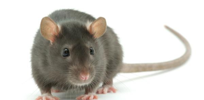 Rats Home