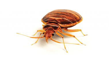 Bedbug Home