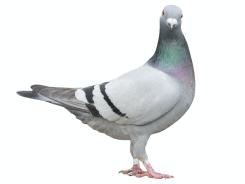 Pigeon control Home
