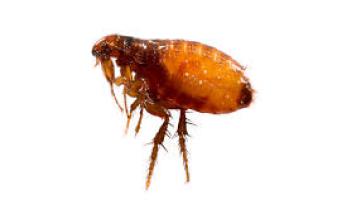 Fleas Home