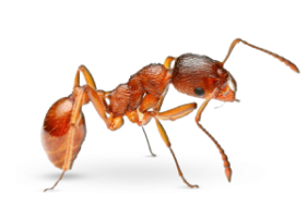 Pharaoh ant Home